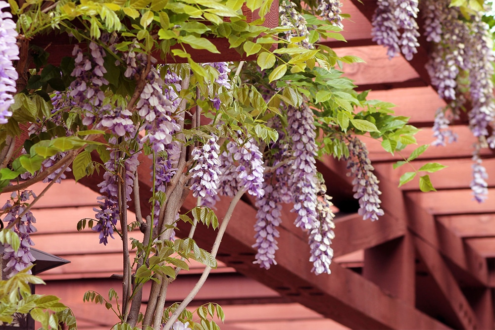 wisteria pergola on a deck